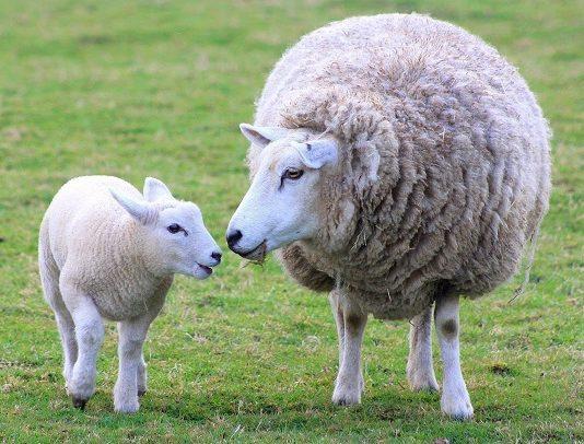 Con cừu tiếng Anh là gì?
