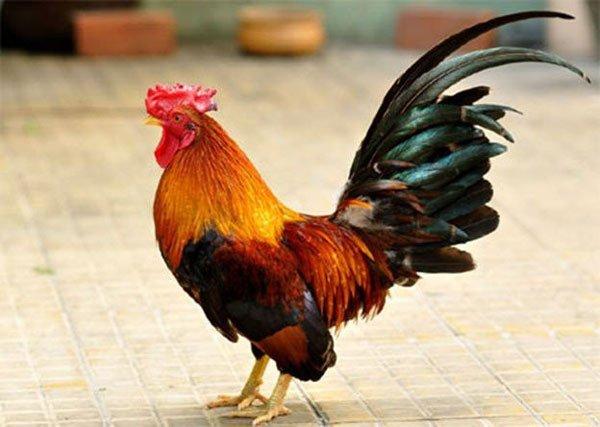 con gà tiếng anh là gì?